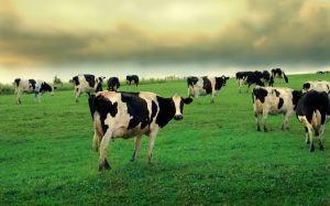 Cows in field 1